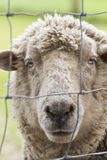Caged sheep Royalty Free Stock Photo