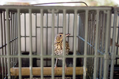 Caged song bird, thrush, for hunting, calling. Stock Image
