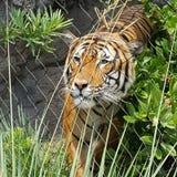 Caged tiger Royaltyfria Foton