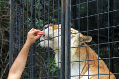 Caged tiger being feed through cage Stock Photography