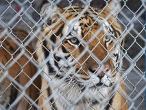 Caged Tiger Stock Photos