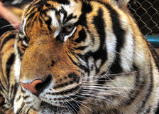 Caged tiger Stock Photography