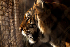 Caged Tiger. Tiger Looks out From Cage stock photo