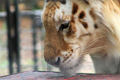 Caged tiger smelling table Royalty Free Stock Image