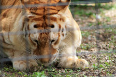 Caged tiger staring at ground Royalty Free Stock Photo