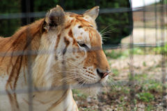 Caged tiger staring Stock Image