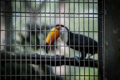 Caged toucan Stock Photos
