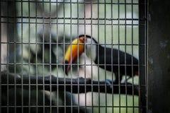 Caged tukan Arkivfoton