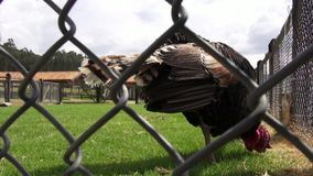 Caged Turkey, Thanksgiving, Poultry, Game Birds. Stock video of a caged turkey stock footage