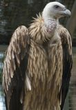 Caged Vulture. A Himalayan griffon vulture keeps a watchful eye stock image