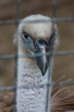 Caged vulture stare Stock Photography
