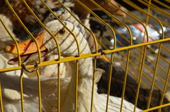 Caged white duck. A white duck in a cage, waiting to be sold at the market Stock Photo