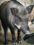 Caged wild hogs Royalty Free Stock Images