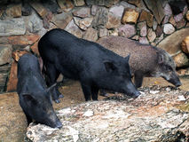 Caged wild hogs Stock Image
