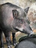 Caged wild hogs Royalty Free Stock Photos