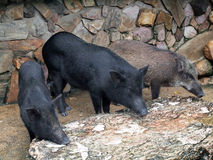 Caged wild hogs Stock Photos