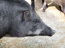 Caged wild hogs Stock Photo