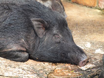 Caged wild hogs. Close up Stock Images