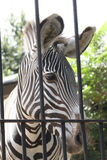 Caged zebra Royalty Free Stock Images