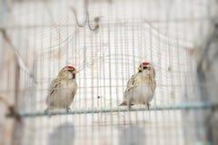 Cageling Photo libre de droits