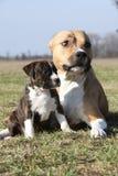 Cagna di stupore di Stafford con il suo cucciolo immagine stock