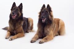 Cagna di Tervuren e cane che si riposano, fondo bianco dello studio Fotografia Stock