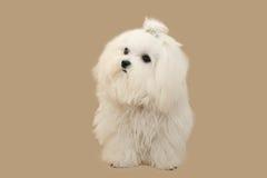 Cagnolino bianco Immagini Stock Libere da Diritti