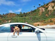 Cagnolino che attacca il suo uscita capa nel vento su una strada principale della costa del Pacifico di viaggio giù in Santa Moni immagini stock