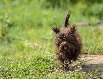 Cagnolino russo di colore Immagine Stock