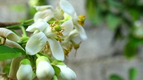 Cagrumes de fleurs blanches banque de vidéos