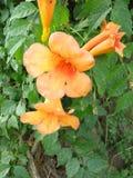CAHUATO /BIGNONIA FULVA Fotografering för Bildbyråer