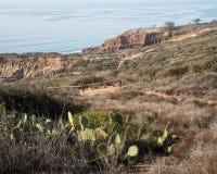 Caifornia的Torrey Pine 免版税图库摄影