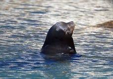 Caifornia Sea Lion near Cabo San Lucas Baja Mexico Stock Photos
