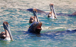 Caifornia Sea Lion swimming with three Pelicans near Cabo San Lucas Baja MEX Royalty Free Stock Images