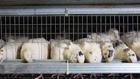 Cailles dans les cages à la ferme avicole banque de vidéos