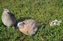 Cailles sur une herbe verte au printemps Photographie stock