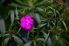 Caillez les fleurs roses sur la montagne en Indonésie photos libres de droits