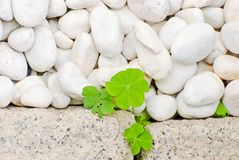 Caillou blanc et lame nouveau-née d'oxalis de rampement Images stock
