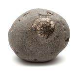 Caillou gris avec l'ammonite incorporée Photographie stock