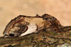 Caillou important (ziczac de Notodonta) Photos stock