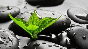 Cailloux humides noirs avec la pousse verte Photos stock