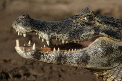 Caimán con gafas, crocodilus del caimán Foto de archivo