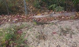 Caimán de Gran, Islas Caimán fotografía de archivo