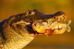 Caimão de Yacare, crocodilo com os peixes no focinho com sol da noite, retrato do detalhe de animal no habitat da natureza, ação  Fotografia de Stock