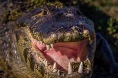 Caimão de Yacare, crocodilo em Pantanal, Paraguai Fotografia de Stock Royalty Free