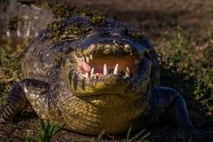 Caimão de Yacare, crocodilo em Pantanal, Paraguai Imagens de Stock Royalty Free