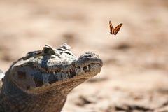 Caimão e borboleta de Yacare Fotografia de Stock Royalty Free