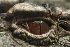 caimão Liso-fronteado (trigonatus de Paleosuchus) Fotos de Stock