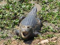 Caimão no Pantanal Fotografia de Stock