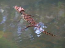 caiman με γυαλιά Στοκ Φωτογραφίες